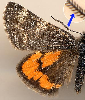 Archiearis notha / male