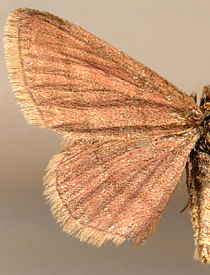 Scopula rubiginata /