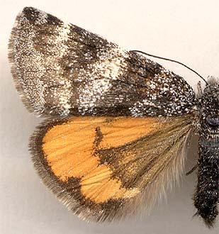 Archiearis notha / female