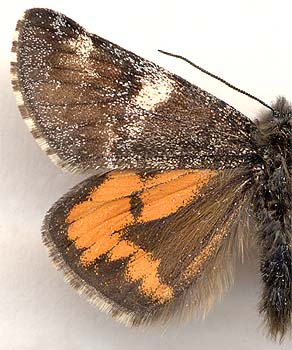 Archiearis parthenias sajana / male