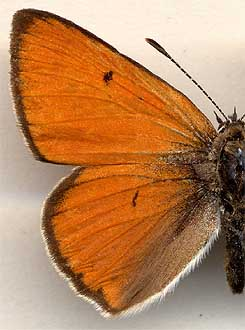Thersamonolycaena dispar /