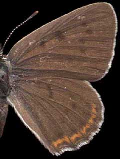 Heodes alciphron /