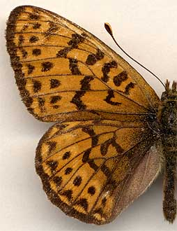 Clossiana tritonia // male