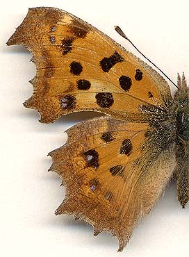 Polygonia c-aureum // female