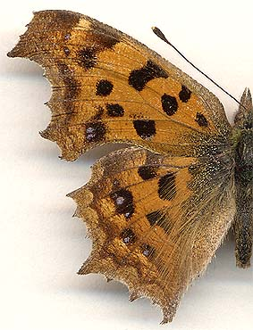 Polygonia c-aureum // male
