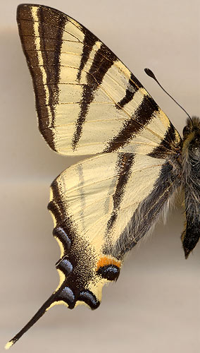 Iphiclides podalirius / male