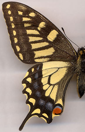 Papilio machaon sachalinensis //  female