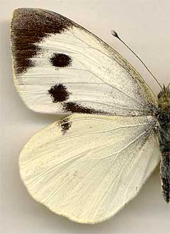 Pieris brassicae /