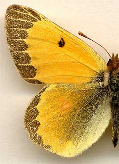 Colias chrysotheme andre /