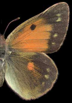 Colias thisoa /