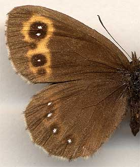Erebia neriene // female