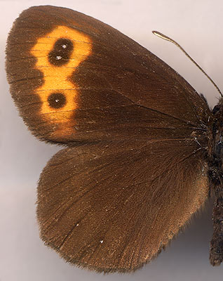 Erebia niphonica scoparia // male