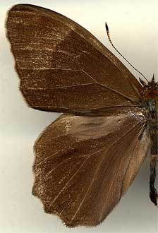 Lethe diana sachalinensis /