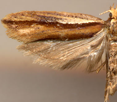 Ypsolopha parenthesella /