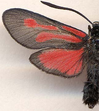 Zygaena osterodensis / male