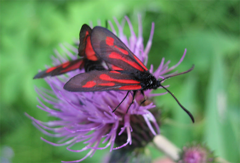 Zygaena osterodensis / in copula